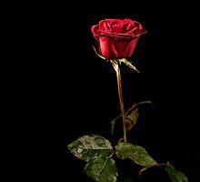 Red Rose on Black by Oleksii Rybakov