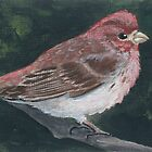 Purple Finch by karenhetzer
