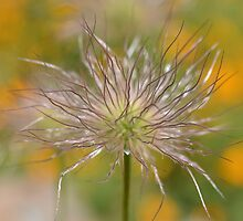 pasque flower seed head by gmws
