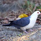 White Headed Pigeon. Cedar Creek, Qld, Australia. by Ralph de Zilva