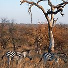 Couple of zebras by gogston