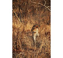 Lioness on the prowl Photographic Print
