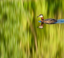 Grebe Reflection by Keld Bach