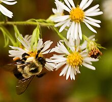 Bumble and the Bushy Aster by Otto Danby II