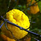 Common Lemon. by waxyfrog