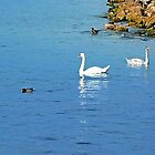 Swans by Art-Motiva