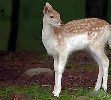 Canadian wildlife:  Bambi by John44