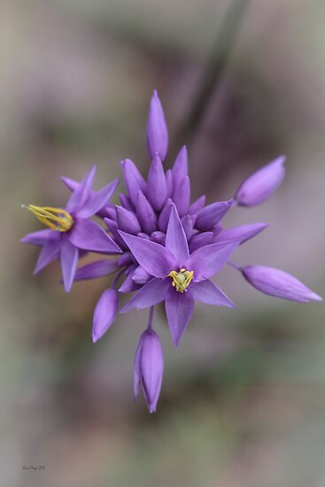 Purple Tassels (Sowerbaea laxiflora) by Elaine Teague
