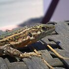 A Happy Gecko by Ben Wardropper