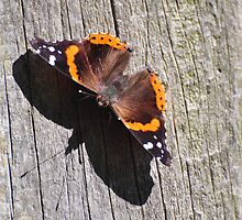 Red Admiral by mltrue
