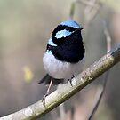 ~ Blue Wren ~ by LeeoPhotography