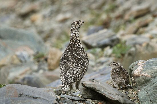 Rock Ptarmigan & chick by Marty Samis