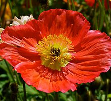 Precious Poppy by Penny Smith