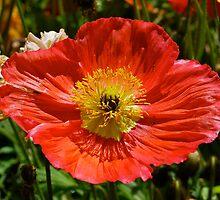 Precious Poppy by Penny Smith