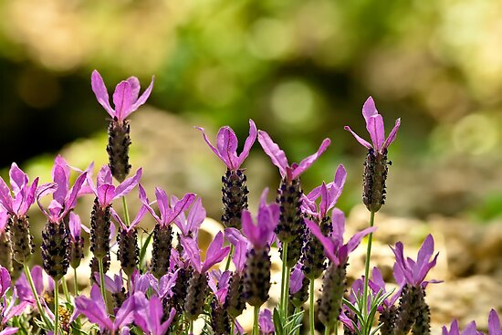 French Lavender by Kuzeytac
