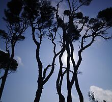 Paperbark Silhouettes. by Bette Devine