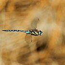 Flight Of The Migrant Hawker by Robert Abraham