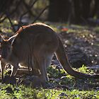 Mt. Lofty Kangaroos Pt.1 by Stuart Daddow Photography