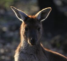 Mt. Lofty Kangaroos Pt.2 by StuBear22
