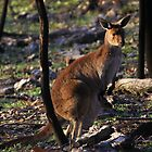 Mt. Lofty Kangaroos Pt.4 by Stuart Daddow Photography