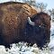 Winter Buffalo by Gene Praag