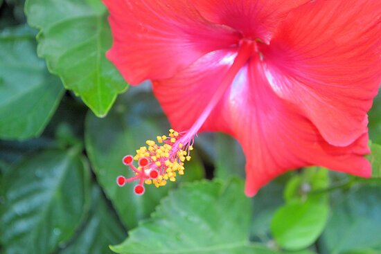 Red Hibiscus by ©Dawne M. Dunton