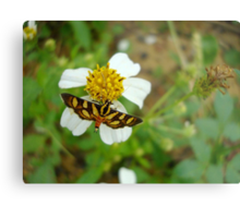 Syngamia florella:  A  DAY FLYING MICROMOTH Metal Print