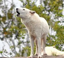 White Wolf Howling iphone case  by Elaine  Manley