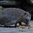 Hedgehog having diner by Peter Wiggerman