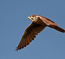 100612 Prairie Falcon by Marvin Collins