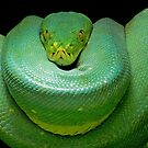 Green Tree Python by Mark Hughes
