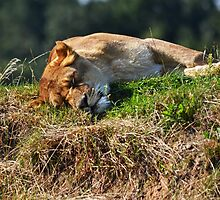 Sleeping lioness by bobbykim666