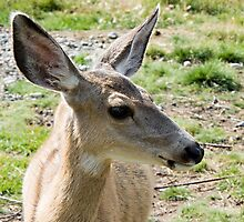 Young Mule Deer [Alces alces)] by Yukondick