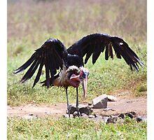 Marabou Stork Just Landing Photographic Print