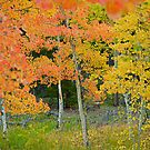 Colorado Aspens Bejeweled by Robert Meyers-Lussier