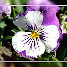 Purple Pansy by Julia Harwood