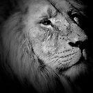 Lion by Matt Sillence
