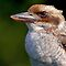 Kookaburra by Keld Bach
