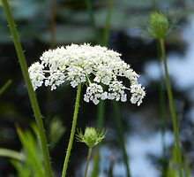 The Queen's Lace  by Marijane  Moyer