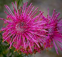 Rose Cone Flower. by Bette Devine