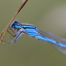 Blue Damselfly by michelsoucy