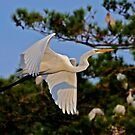 Great White Egret Takes Flight by Kathy Baccari