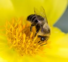 Bumble Bee on Yellow Flower by michelsoucy