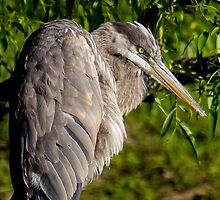 Mean Geat Blue Heron Heron by michelsoucy