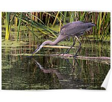 Reflection of a Great Blue Heron Poster
