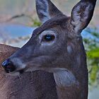 Molting Doe by Conner Lundeen