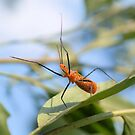 Milkweed Assassin Bug by ©Dawne M. Dunton