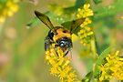 Bumblebee by ©Dawne M. Dunton