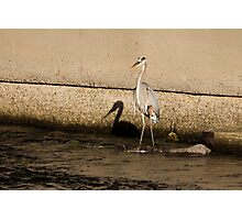 Shadow of a Great Blue Heron Photographic Print