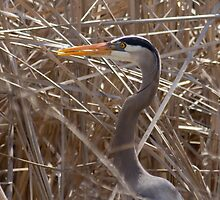 Great Blue Heron in the reeds by michelsoucy
